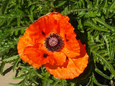 New Lanark Roof Garden single poppy flower